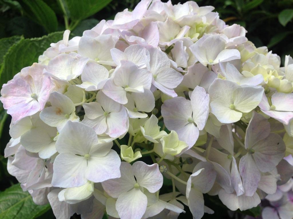 日本の花、紫陽花