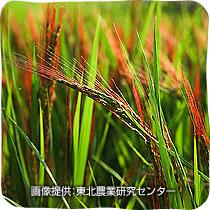 観賞用稲の稲穂