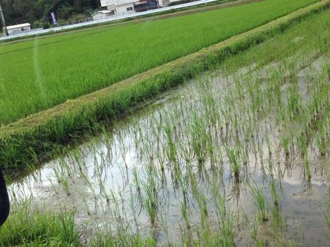 沖縄県の恩納村で栽培されているお米はちゅらひかり
