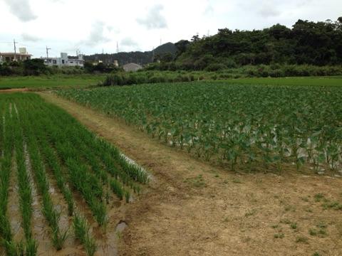沖縄県中部、金武町で見れる田園風景はタイモと隣同士
