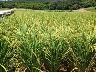 沖縄屋嘉の稲を横から撮って見ました。