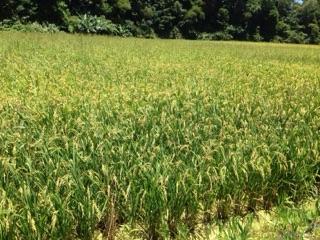 沖縄屋嘉でも稲の収穫が始まります。
