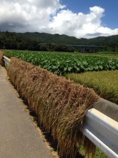 沖縄屋嘉では稲をガードレールに干します。
