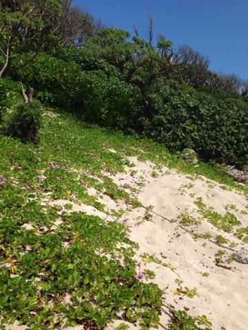 久高島の浜辺には、海亀が産卵する砂浜がある
