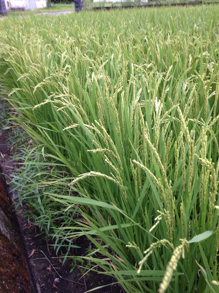 鹿児島県のお米、ミルキークイーンの田んぼ画像