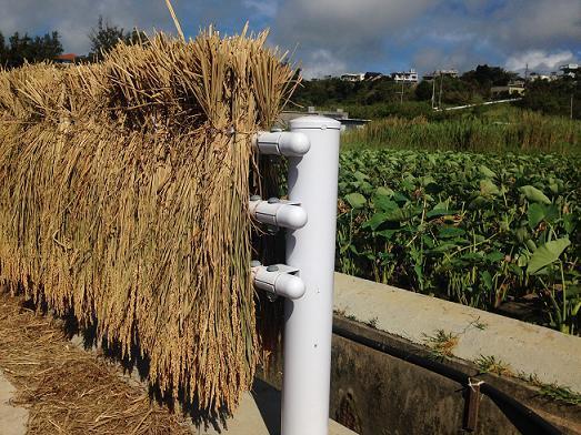 沖縄県金武町の稲作、はざかけはガードレールという名物光景!