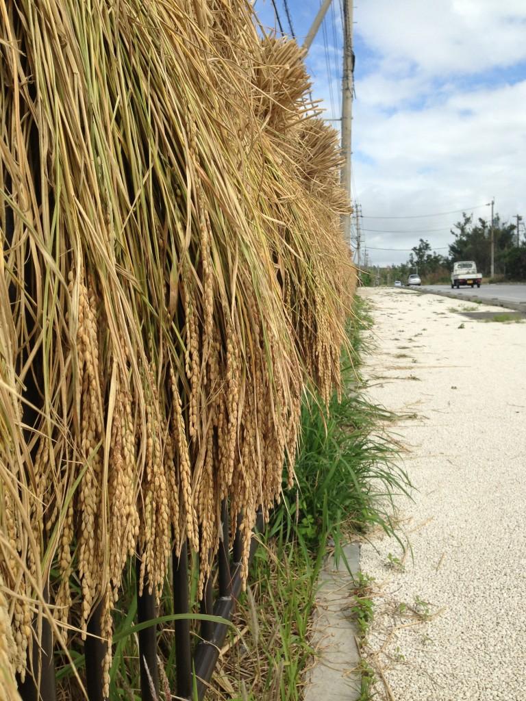 沖縄の稲作風景