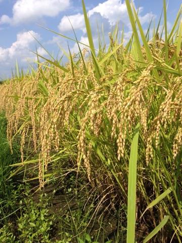 富山県大場さんちの特別栽培米こしひかり