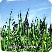 観賞用稲に種類がある