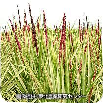 観賞用稲とは何だろう
