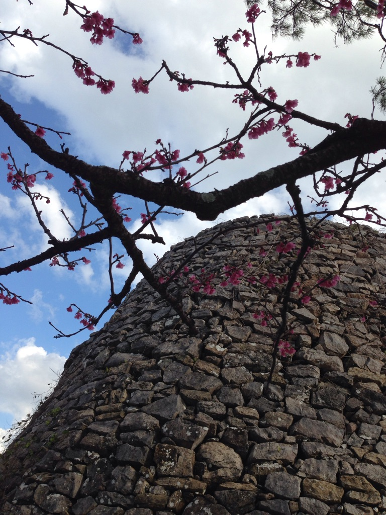 沖縄は日本一早く桜が見れます