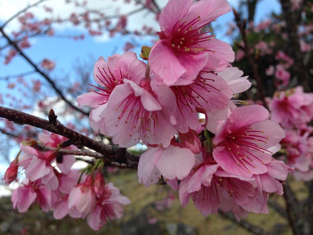 今帰仁城跡の桜まつり|沖縄の桜は全国でいち早く開花します