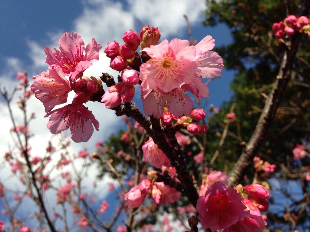 今帰仁城の桜は薄いピンク色をしていました。