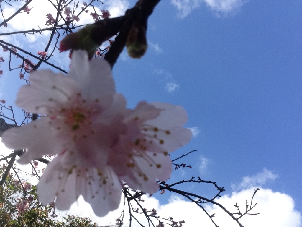 今帰仁城の桜