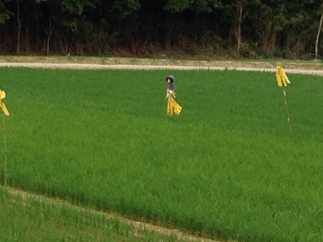 沖縄でも少しづつ案山子が人気のようです