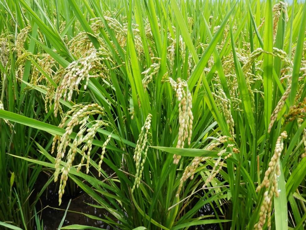 鹿児島県産ミルキークイーン、収穫までもう少しです。