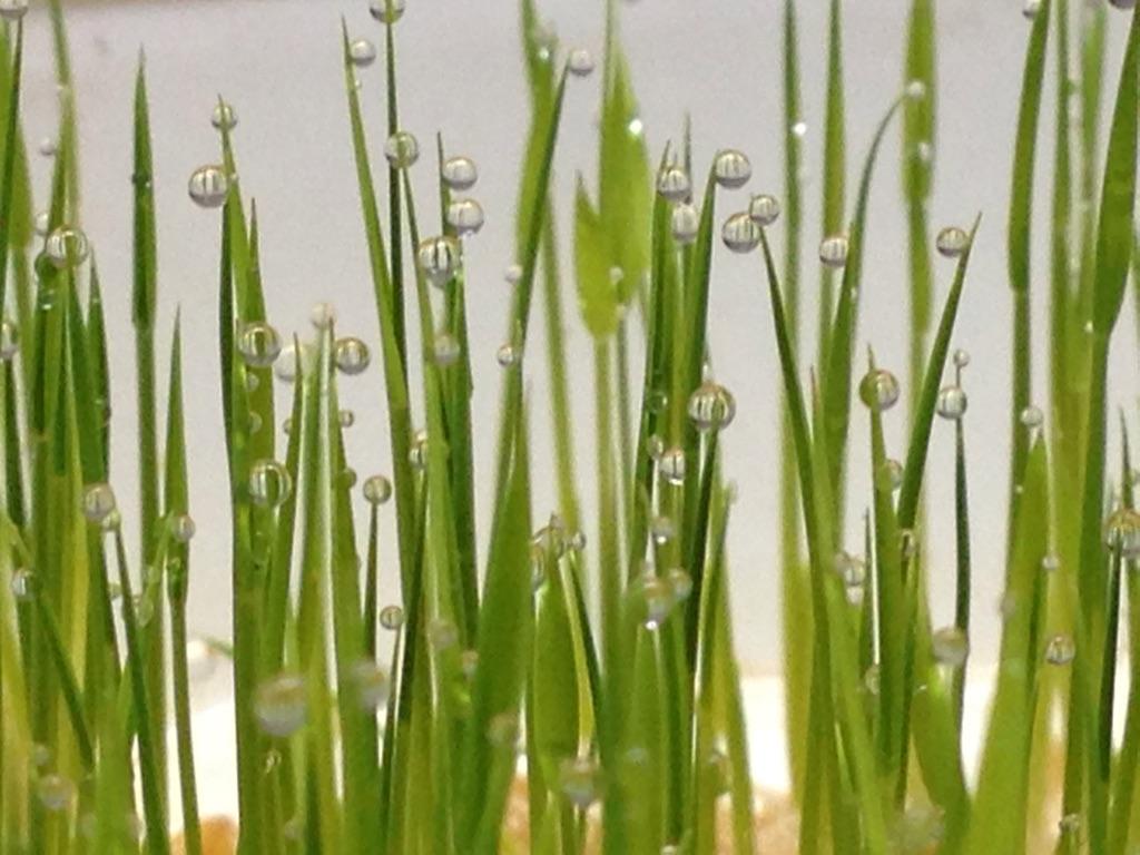 バケツ稲で見られた、稲穂の幻想的な朝露