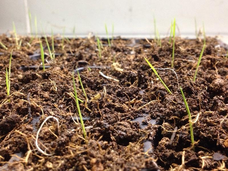 バケツ稲、土作り開始からの稲穂の様子