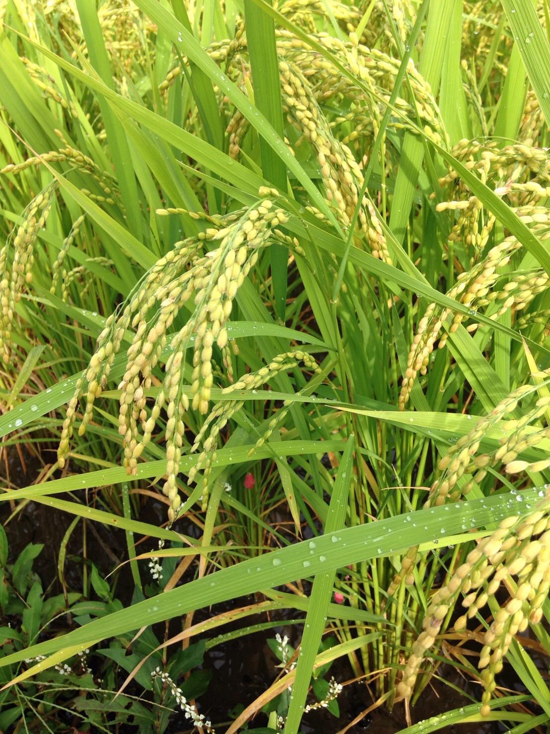 鹿児島の米農家さんから、稲穂の様子が届きました