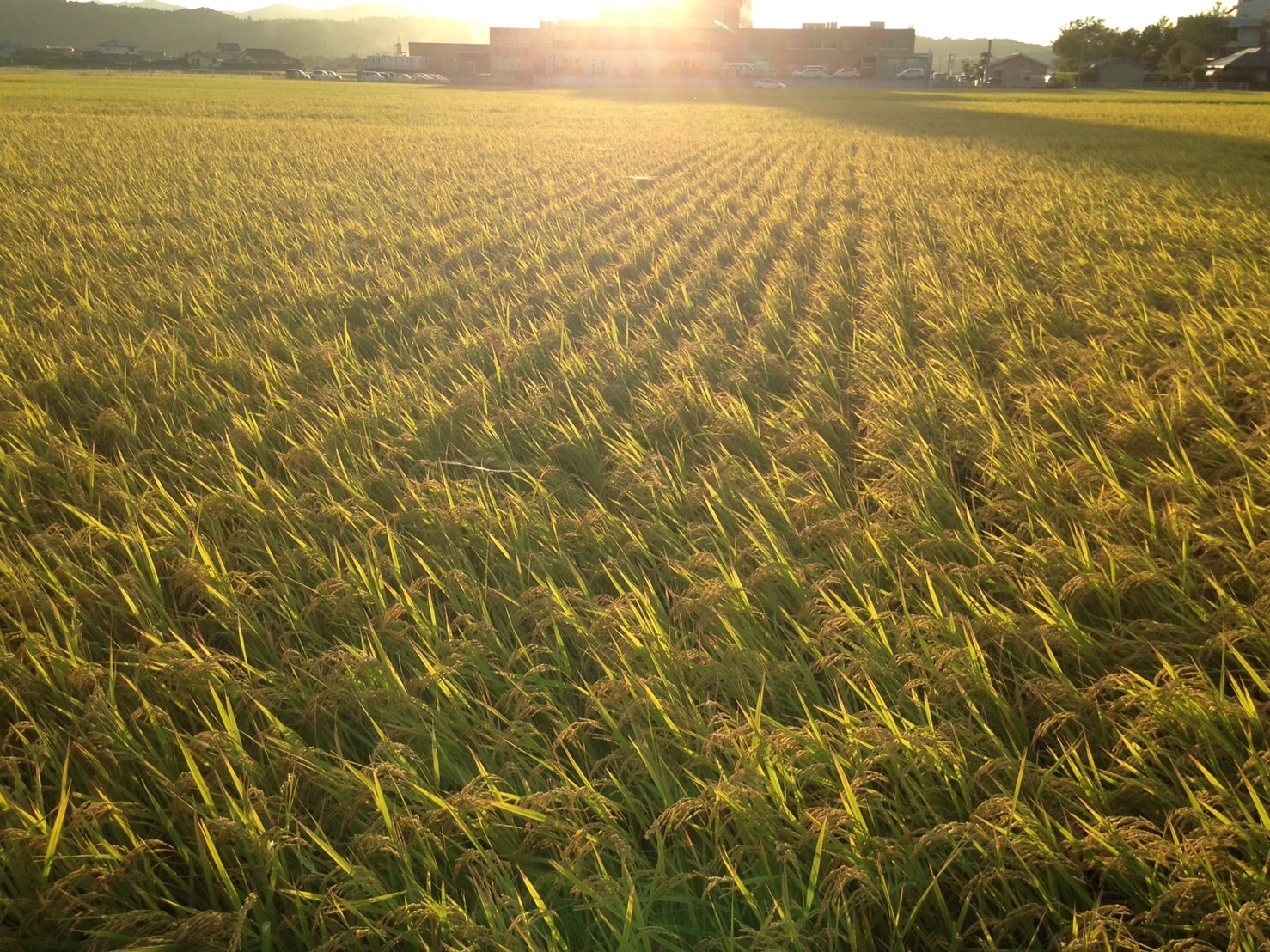 鹿児島の田園風景。黄金色に波打つ稲穂が美しい!