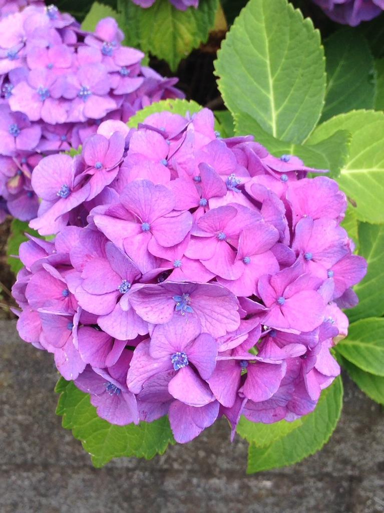 鹿児島の米農家さんからとどいた紫陽花の画像がキレイです