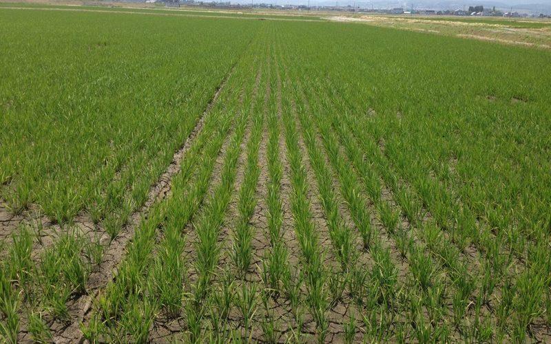 富山の米農家さんの田んぼ風景