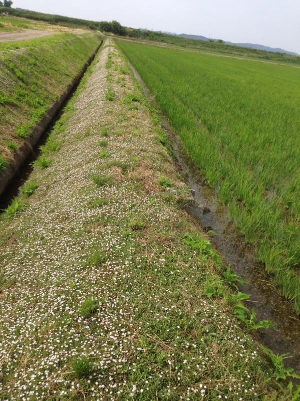 田んぼの畦にはヒメイワダレソウという草を植えてます。