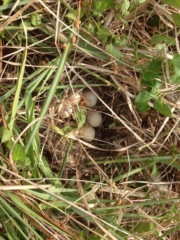 鴨の卵を偶然発見した!