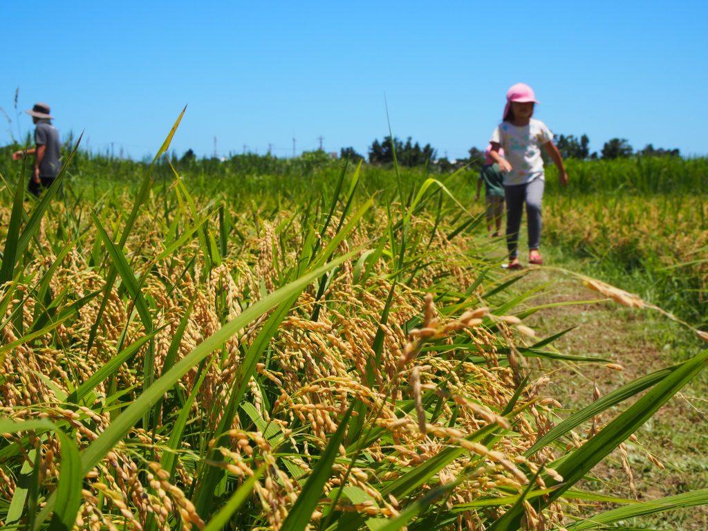 沖縄県名護市で、稲の収穫イベントを取材させていただきました!
