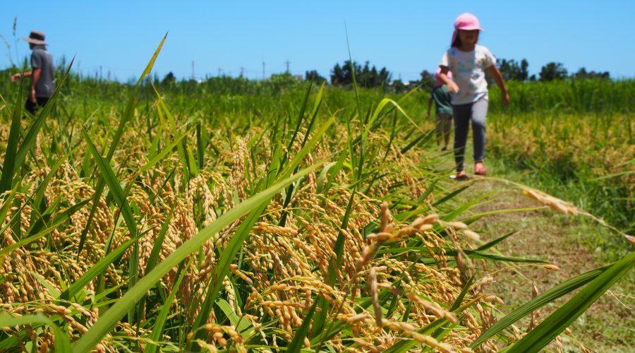 沖縄県名護市で開催された稲刈りイベントに参加してみた