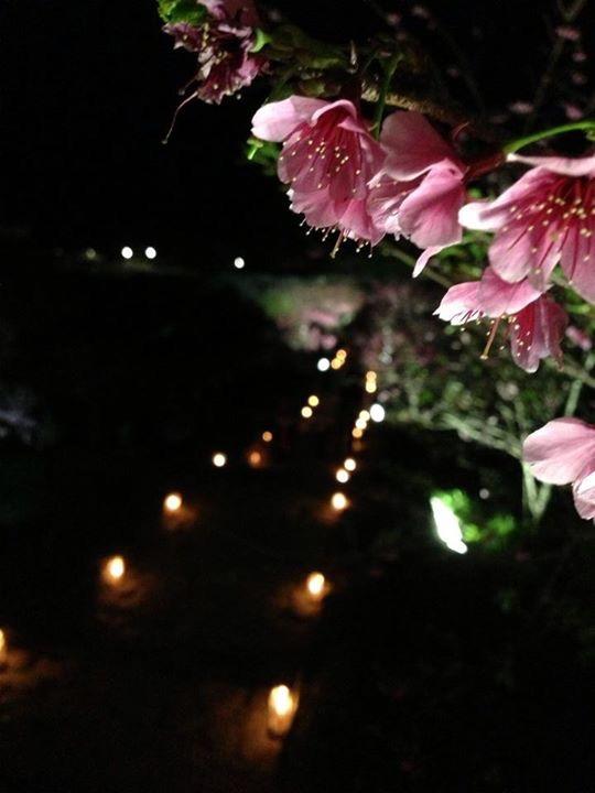 沖繩夜桜を楽しむことができる桜祭りの時期と場所