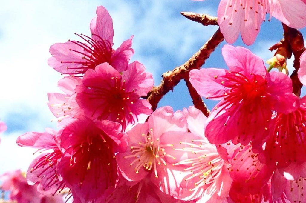 okinawa-sakura-kanhizakura