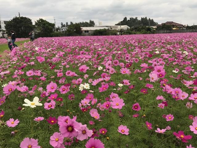 沖縄県名護市のコスモス畑1