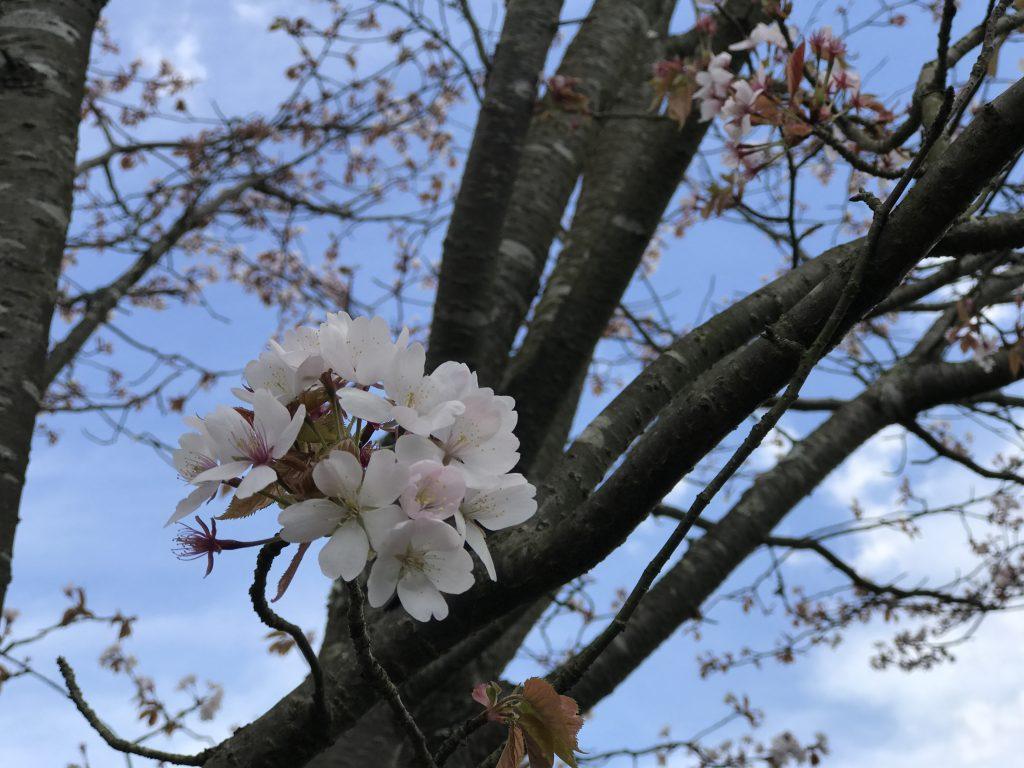 これが日本の桜!と思った外国人的な反応をしてしまった件