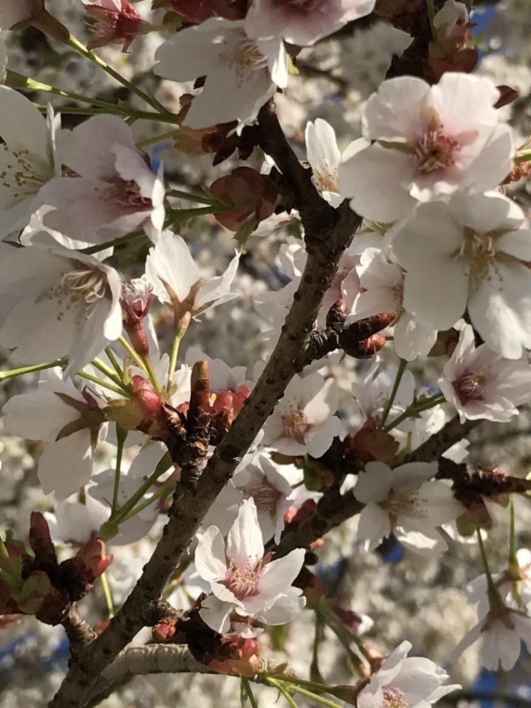 本土の桜は儚い、というイメージがぴったりな可愛さ
