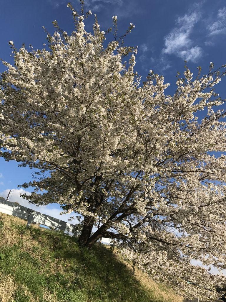 沖縄から本土の桜を見ると、その違いに感動した