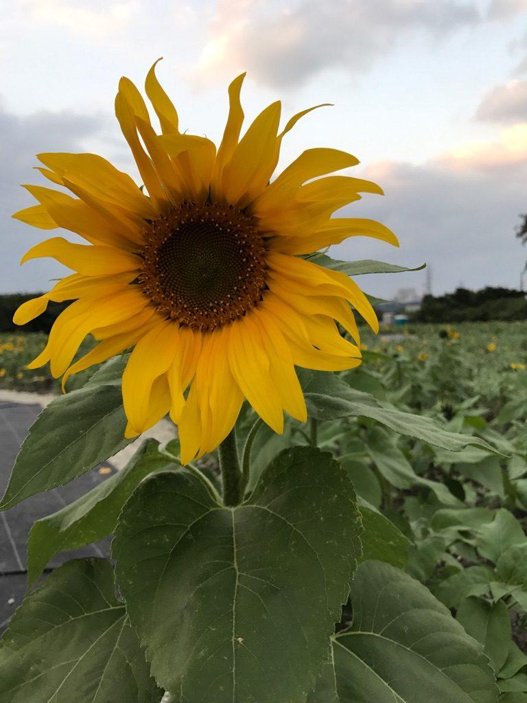 ひまわり-向日葵1